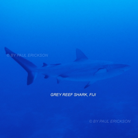 fiji-grey-reef-sharkblog1000flat